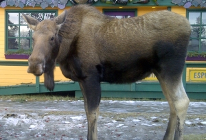 Moose at Cups Close