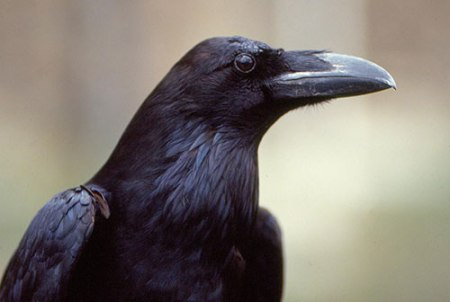 tower-of-london-raven