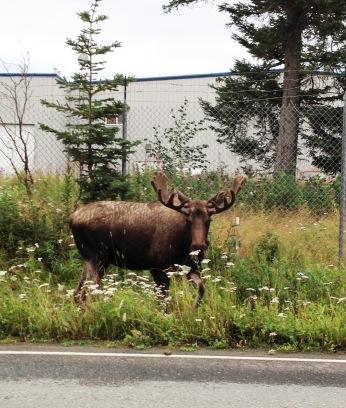 Airport moose